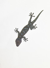 A Gecko On Gray Wall , Many Or...