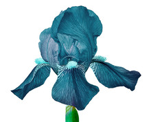 Cerulean Iris Flower Isolated ...