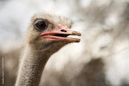 Fotobehang Struisvogel ostrich animal portrait