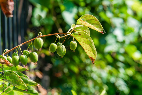 Green kiwi fruit on Actinidia Issai tree - closeup with selective focus