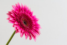 Single Pink Gerbera Daisy Isolated On A White Background