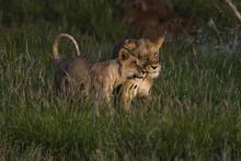 A Lioness (Panthera Leo) And Her Cub, Tsavo, Kenya