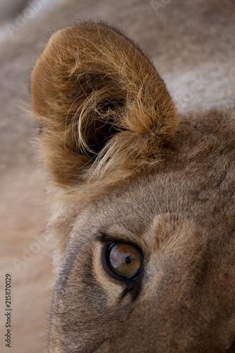 Zdjęcie XXL Młody lew