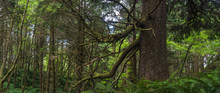 Panoramic View Of Trees And Underbrush In Oregon's Coastal Rainforest.