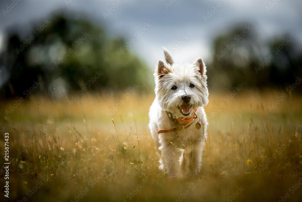 Fototapeta The West Highland Terrier