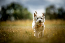 The West Highland Terrier
