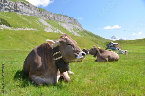 Aluminium Prints Autumn Cows in an Alpine meadow. Melchsee-Frutt, Switzerland