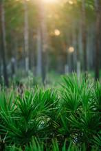 Saw Palmetto And Slash Pine, St. Joseph Bay State Buffer Preserve, Port St. Joe, Florida