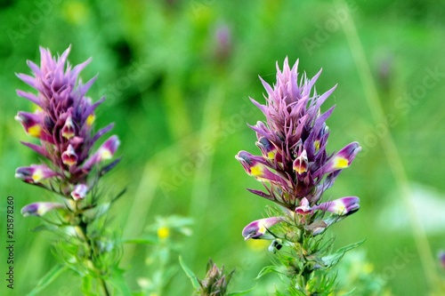 Photo A wild flower and a herb astragalus in the field close-up.