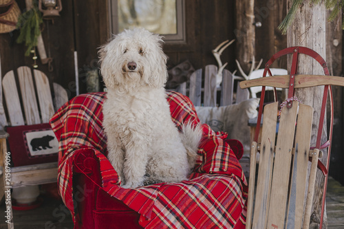 White hairy dog sitting on chair by wooden sled