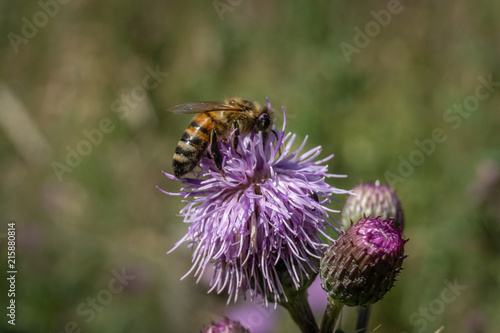 Photo Honey bee on a thistle close up