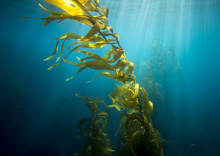 Channel Islands Kelp