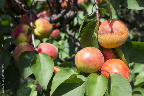 Ripe apricots grow on a tree, summer, harvest. Useful fruit
