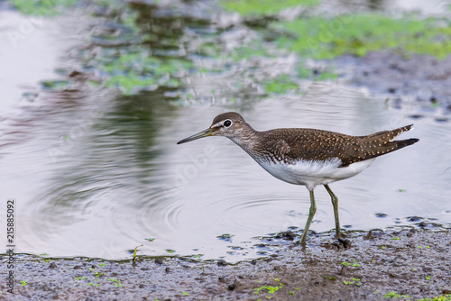 Fotografering  Water bird Broad billed Sandpiper. Limicola falcinellus