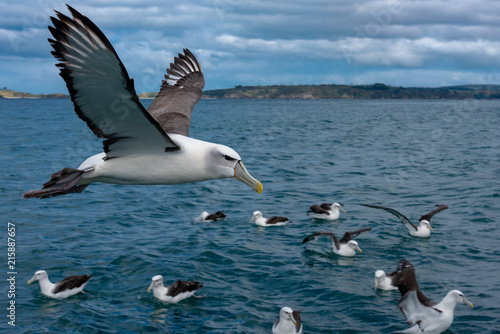Fotografia, Obraz  Albatross in Flight