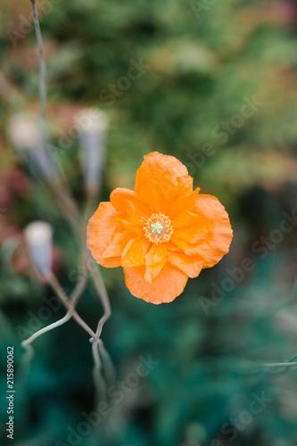 In de dag Klaprozen poppy flower