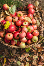 Vintage Fruit Picking Basket With Red Apples