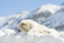 White Samoyed Dog Sleeping On A Snow-drift