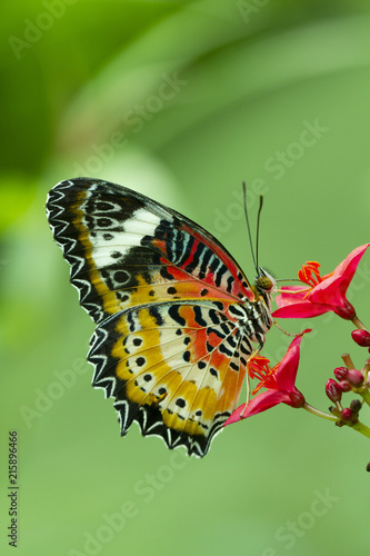 Fotografie, Obraz  Leopard Lacewing Butterfly, Cethosia Cyanae, on red flower