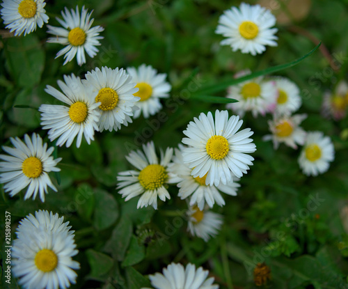 Foto op Plexiglas Madeliefjes Daisy blooming flowers in grass field, spring time
