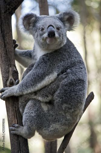Staande foto Koala an Australian koala with joey