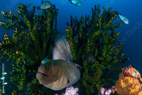 Fototapety, obrazy: Giant Moray Eel hiding amongst hard coral on a tropical reef
