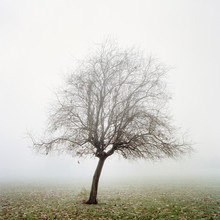 A Solitary Tree In Autumn Mist