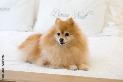 Small Pomeranian Dog Sitting In Bed On Top Of White Blankets With