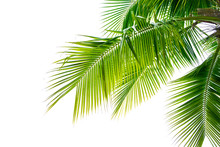 Detail Of Coconut Trees Leaf Isolated On White Background