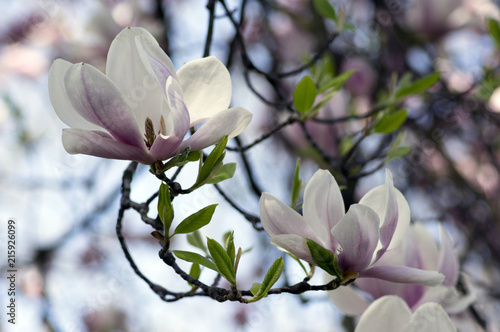 Magnolia soulangeana also called saucer magnolia flowering springtime tree with beautiful pink white flower on branches