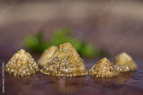 limpets attached to rocks
