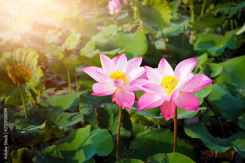 Foto op Canvas Lotusbloem Beautiful pink lotus flower in nature with sunrise for background