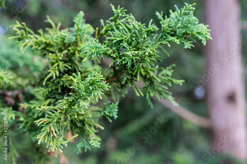 Fotografiet  Branch and Leaf of the Dwarf Hinoki Cypress, chamaecyparis obtusa, Nana Gracilis
