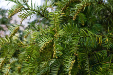 Fir Tree With Branch And Leave...