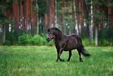 beautiful shetland pony runs on grass