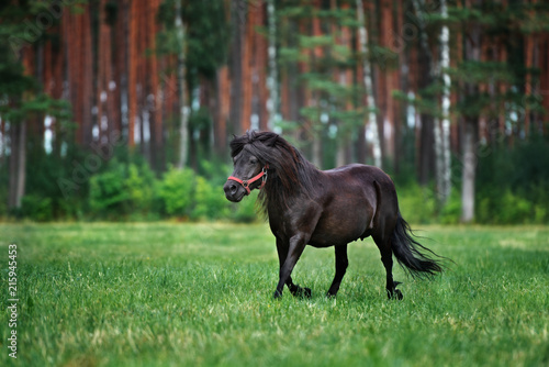 Photo beautiful shetland pony runs on grass