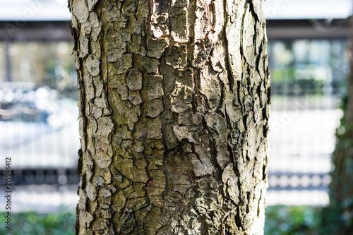 tree trunk of aesculus hippocastanum laciniata Wallpaper Mural