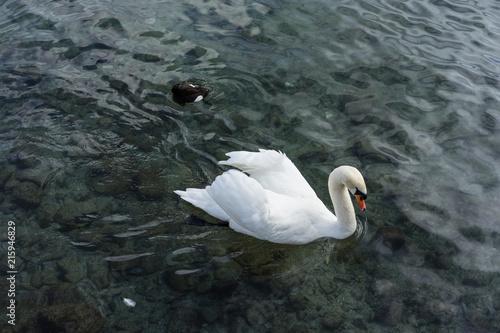 Foto op Plexiglas Zwaan white swan on lake high angle view