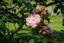 Withered Rose Bud In Garden