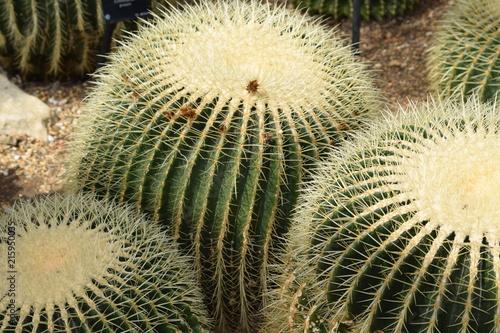 Foto op Plexiglas Cactus Cactus plant macro