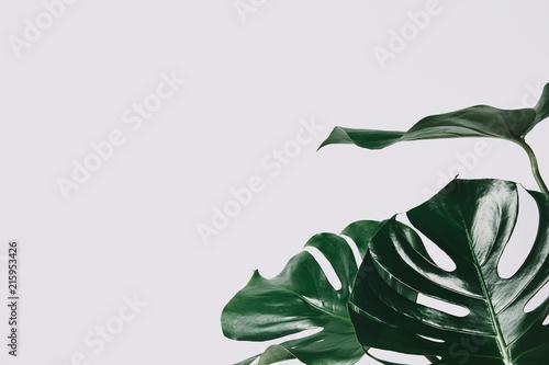 Obraz close-up shot of monstera leaves isolated on white - fototapety do salonu