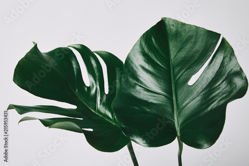 Fototapeta beautiful green monstera leaves isolated on white