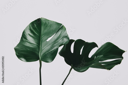 Obraz na plátne close-up shot of monstera leaves isolated on white