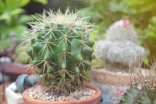Foto op Plexiglas Cactus Small cactus in pot, succulents or cactus.