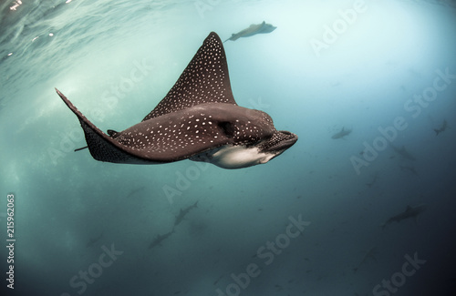 Poster Aigle Spotted eagle rays (Aetobatus narinari) swimming underwater, Galapagos Islands