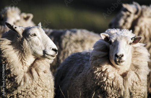 Sheep With Full Fleece Of Wool Ready For Summer Shearing