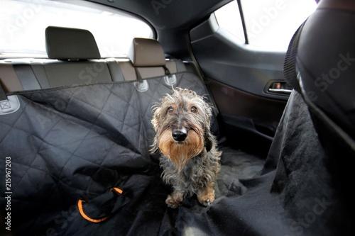 Fotografía  Trasporto cane in auto
