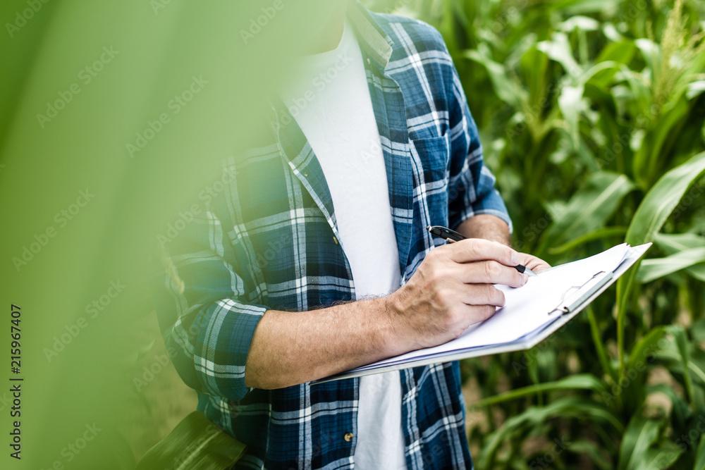Fototapety, obrazy: Farmer inspecting corn field summer sunny day