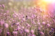 Flowering, Blooming Thistle (burdock) In Meadow - Beautiful Nature