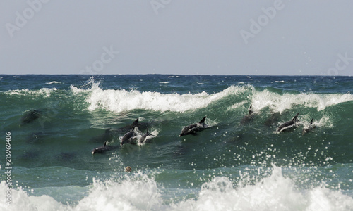 Pod of bottlenose dolphins surfing a wave